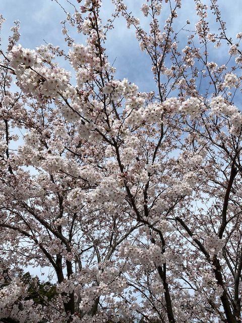 桜が八分咲き♪