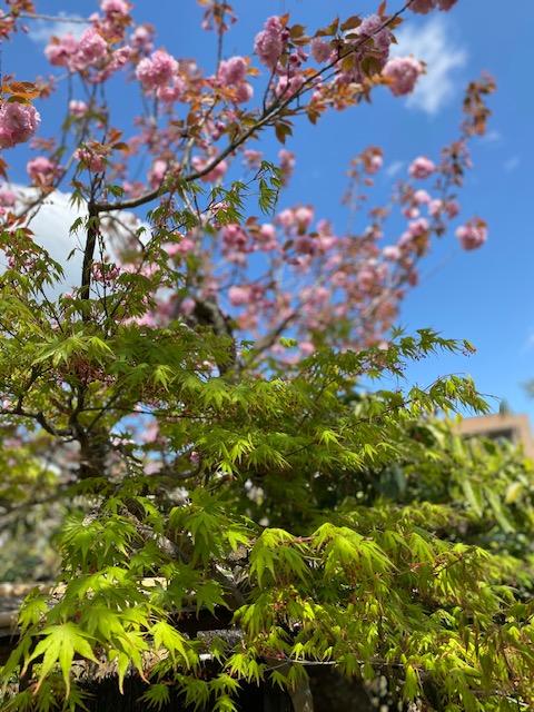 田んぼと白い桜